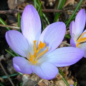Flores desidratadas
