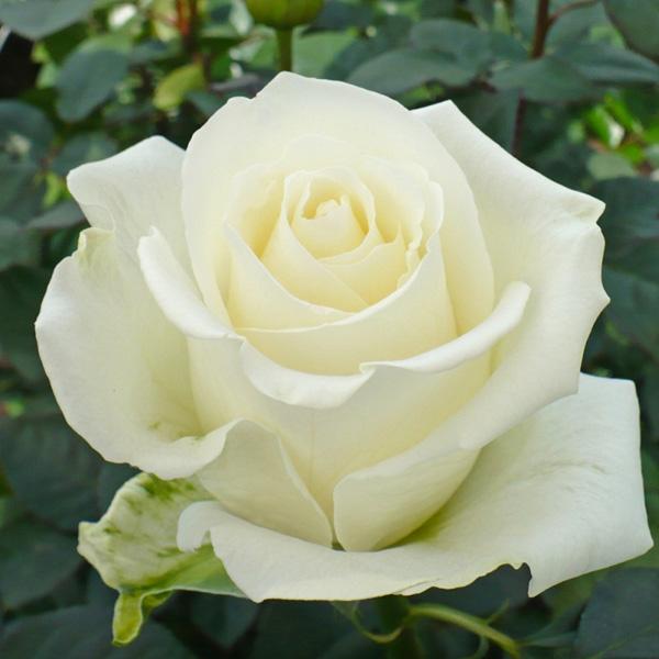 rosa-branca-1.jpg